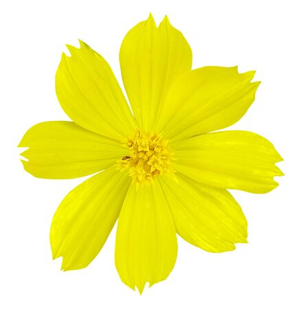 Yellow Cosmos Flower on white isolated  background