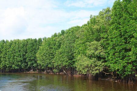 Mangrove Forest In Chanthaburi Province,Thailand Stok Fotoğraf