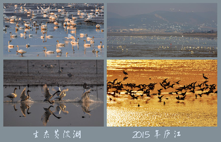migratory: Lujiang, Anhui Huang Po Lake Migratory Bird