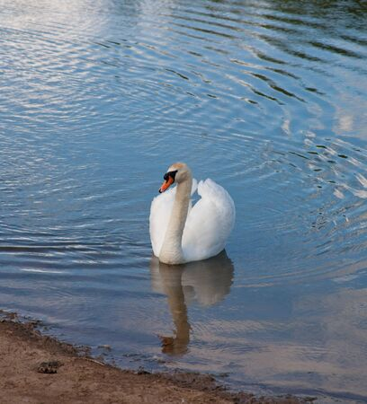 Swan swimming on blue water