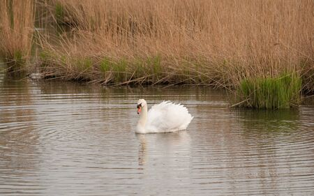 Swan swimming on a pond