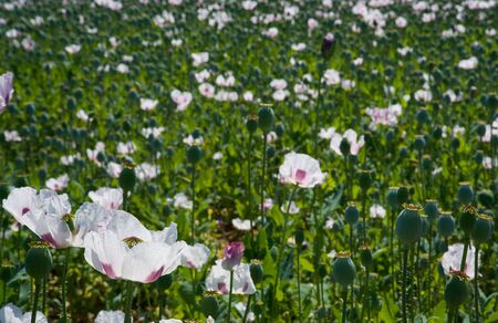 poppies growing in afield with shallow depth of field