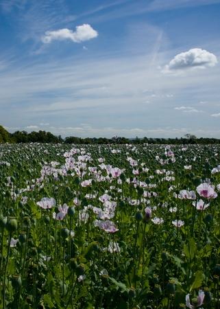 poppy field and blue sky