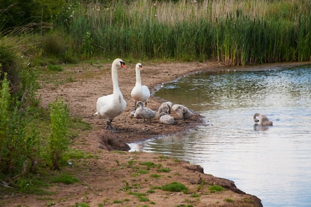 Family of mute swans Stock Photo