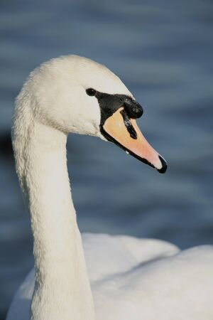 outdoor photo of a mute swan Stock Photo