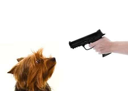 yorkie dog looking at a gun pointed at it isolated on white