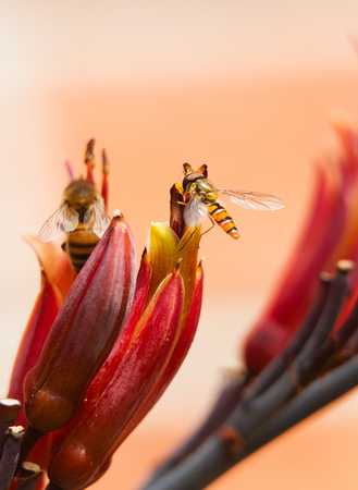 cordyline: hoverfly on the flower of a cordyline plant Stock Photo