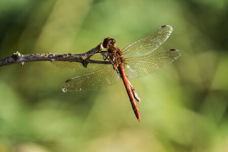 sympetrum: common darter dragonfly at rest on a twig, Sympetrum striolatum