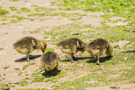 greylag: group of young greylag goslings searching for food on grass