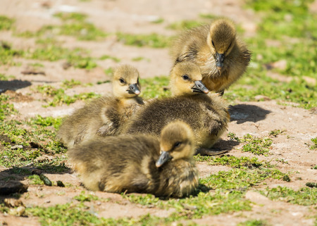 group of young greylag goslings on grass