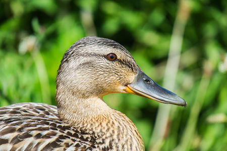 female mallard duck close up of head in profile Stock Photo