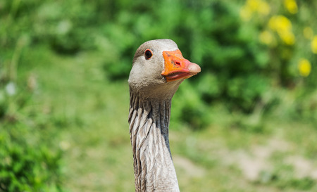 greylag: close up of a greylag goose head and neck