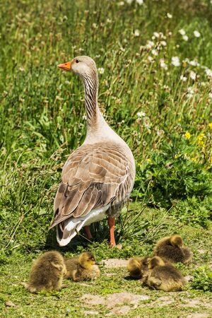greylag: group of greylag goslings with adult goose