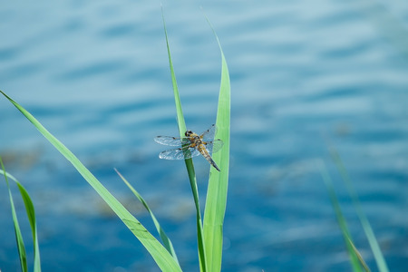 chaser: four spotted chaser dragonfly at rest on grass near water Stock Photo