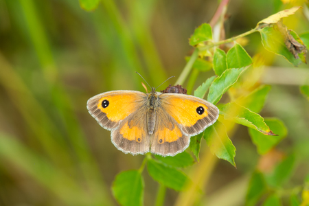 eyespot: gatekeeper butterfly at rest on a leaf, Pyronia Tithonus