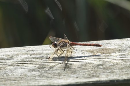 common darter dragonfly at rest on wooden bar Stock Photo