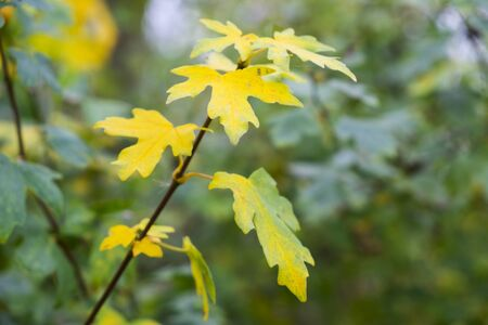 yellow leaves on field maple tree in autumn