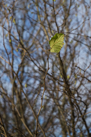 solitary leaf on a twig showing concept of winter