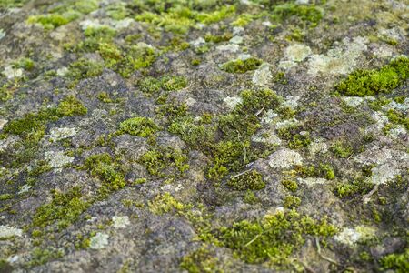 close up of moss and lichen growing on a rock