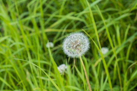 close up of wild growing dandelion seed head in a grassy location