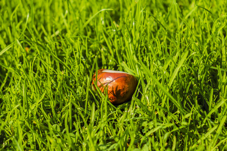 horse chestnut seed lying in green grass