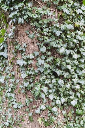 Ivy growing around tree trunk Stock Photo
