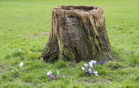 cut down tree stump in a parkland setting