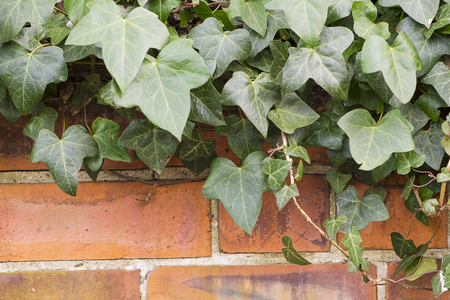 brick wall with green ivy growing wild