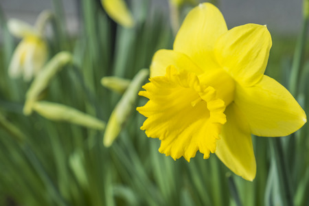 yellow daffodil flower growing in spring time Stock Photo
