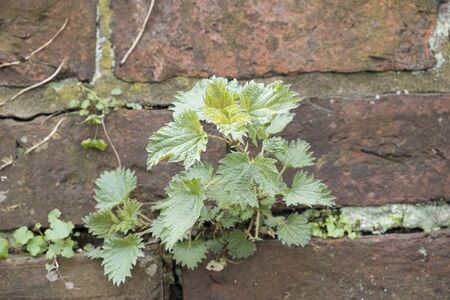 nettle plant growing through the mortar of an old brick wall