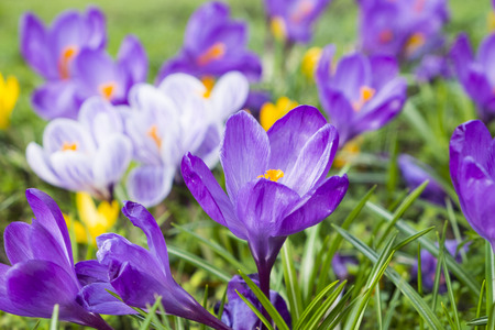 several multicoloured crocus flowers growing in grass