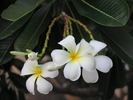thai spa: Plumeria flower , a flower that alway use to decorate in Thai  spa