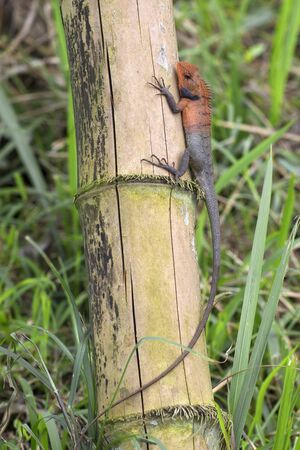 small reptiles: A small lizard sits on dried bamboo trunk. Vietnam Stock Photo