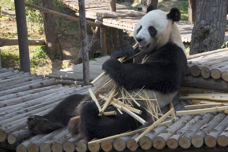eats: The male giant Panda eats bamboo, Thailand