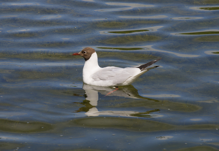 Wild seagull sitting on the water at the lake