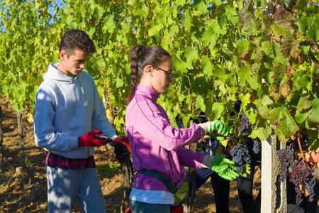 トスカーナ、イタリア 9 月 21、2017: 若い男と女の子収集ブドウ畑の。トスカーナ州の収穫