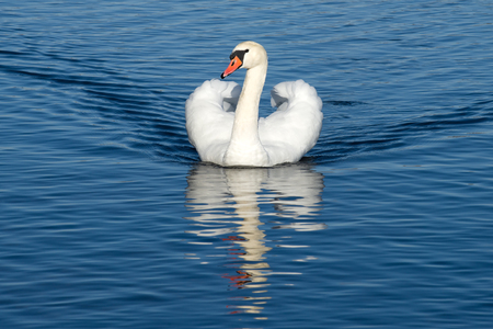 White swan on the lake close up