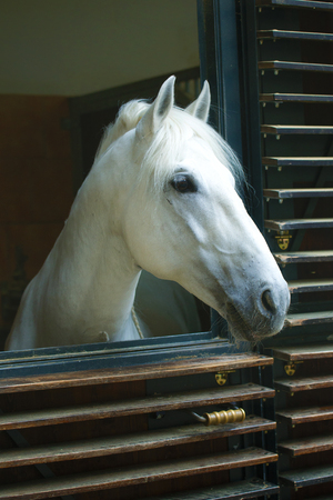 The head of a horse Lipizzan breed. Spanish Riding School in Vienna