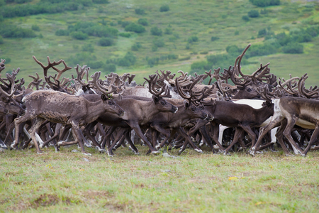 A herd of running reindeers. Yamal, Russia 스톡 콘텐츠
