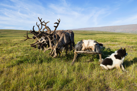 Reindeer sledding in the tundra on a sunny summer day. Yamal, Russia Stock Photo