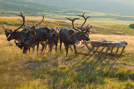 Deer harness with sledges close up on a sunny summer evening. Yamal, Russia