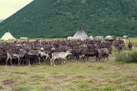 Herd of reindeers at a settlement of nomads reindeer breeders. Yamal, Russia Stock Photo