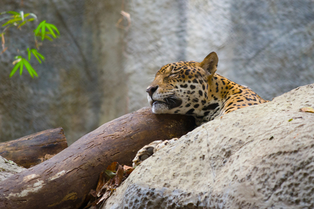 CHIANG MAY, THAILAND - DECEMBER 20, 2018: Head of a sleeping leopard. Zoo of the Chiang Mai city