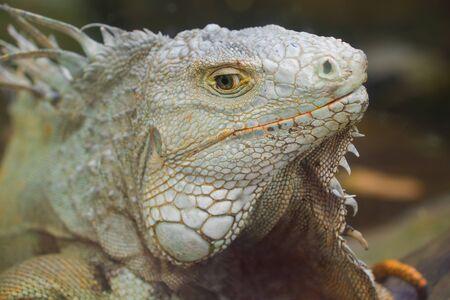 The head of an ordinary iguana close up