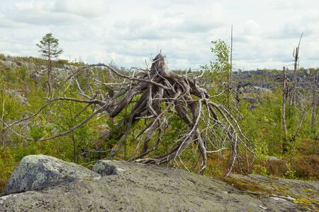 Fancy driftwood similar to an octopus on Mount Vottovaara. Korelia, Russia