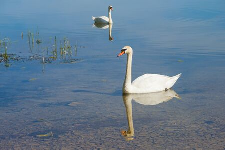 Two swans on the water on a sunny day 版權商用圖片
