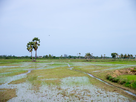 planted: Newly planted rice paddy ,rice field newly sown seeds