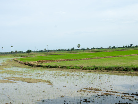 newly: Newly planted rice paddy ,rice field newly sown seeds