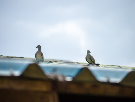 droppings: Mourning Dove Resting on roof house Stock Photo