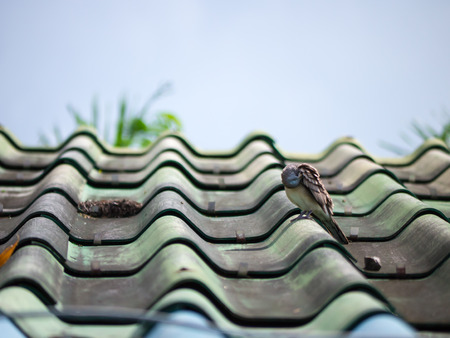 mourning: Mourning Dove Resting on roof house Stock Photo